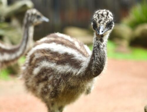 Meet Our Two Cheeky New Emu Chicks!