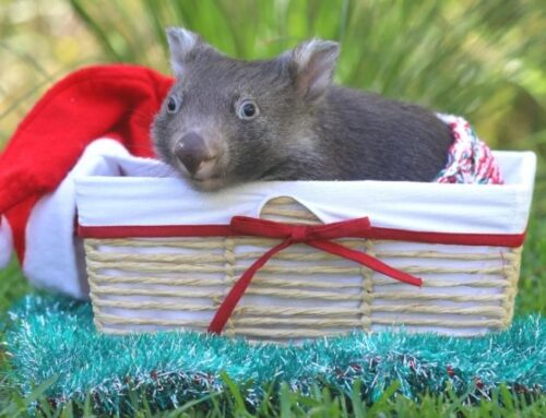 Holly The Wombat Joey is a Christmas Miracle!