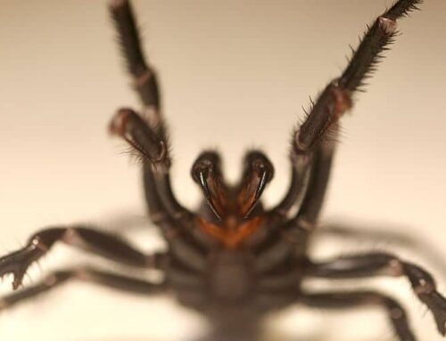 Urgent Call for Funnel-Web Spider Donations