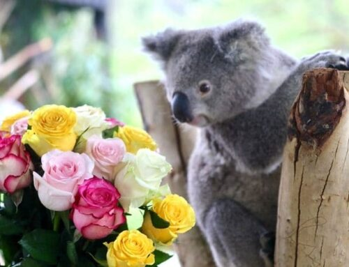 Cute Koalas Celebrate Valentine's Day