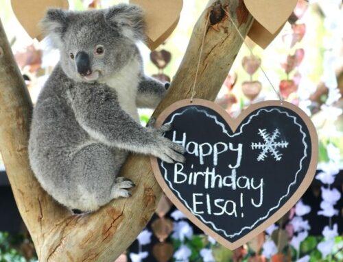 Elsa the Koala Celebrates Second Birthday!
