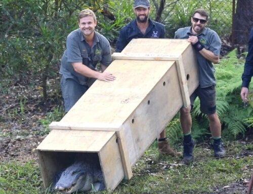 20 new male alligators arrive at Australian Reptile Park